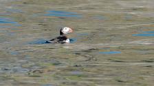 Fågelskådning - vi hittar och oroar oss för Lunnefåglar